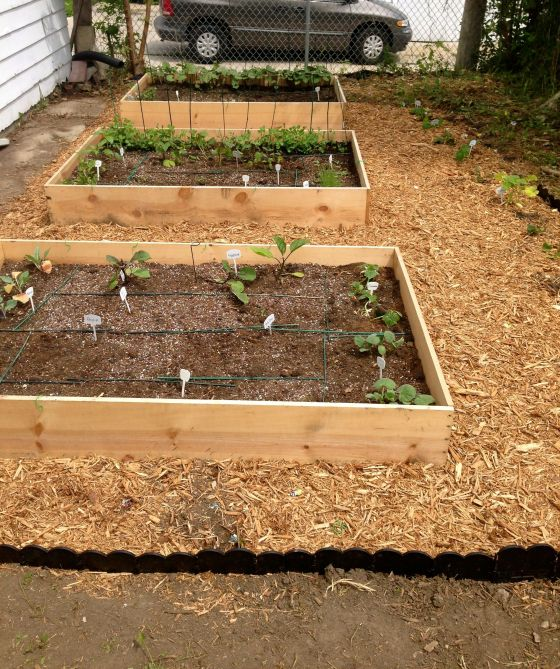 New garden beds, with mulch surrounding them, and a row of vining melons and squashes along the side.