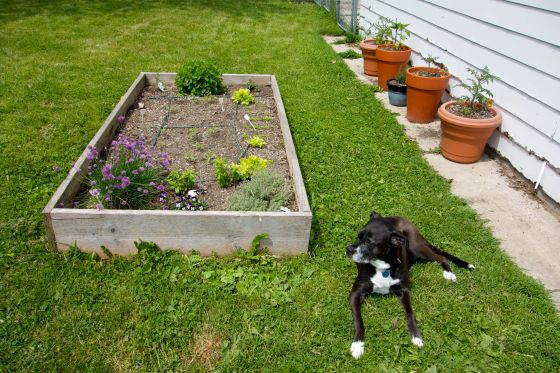 Original garden box, with tomato and pepper seedlings, herbs, lettuce and violas. Tomato and pepper pots along the garage. And a happy dog in a her favorite sunny spot
